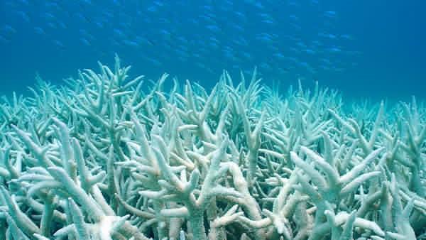 Korallblekning